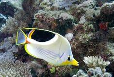 水下的鱼在澳大利亚,这条鱼是非常可口水果,但是的看起来 免版税库存图片