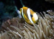 水下的鱼在澳大利亚,这条鱼是非常可口水果,但是的看起来 库存照片