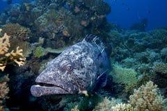 水下的鱼在澳大利亚,这条鱼是非常可口水果,但是的看起来 图库摄影