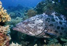 水下的鱼在澳大利亚,这条鱼是非常可口水果,但是的看起来 免版税图库摄影