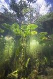 水下的黄色荷花黄睡莲lutea 库存照片