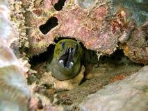 水下的eeel 免版税图库摄影