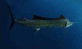 水下的salifish 免版税库存图片