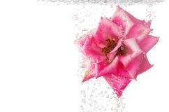 水下美丽的粉红色的玫瑰 图库摄影