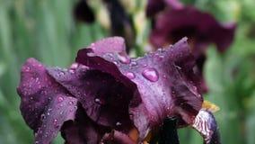 水下落特写镜头在深紫色的伯根地虹膜花的在春天微风的雨以后 股票视频