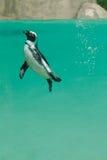 水下非洲的企鹅 库存图片