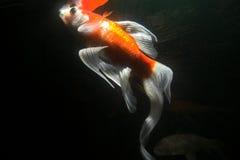 水下鱼的koi 免版税库存照片