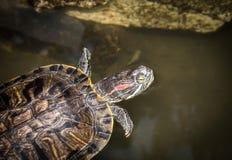 水乌龟在黑暗的背景的一块石头说谎 免版税图库摄影