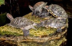 水乌龟在黑暗的背景的一块石头说谎 库存照片
