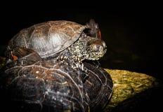 水乌龟在黑暗的背景的一块石头说谎 库存图片