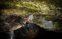 水乌龟在黑暗的背景的一块石头说谎 图库摄影