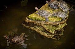 水乌龟在黑暗的背景的一块石头说谎 免版税库存照片