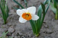 水仙在庭院床上的花开花 免版税库存图片