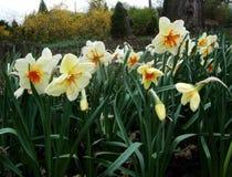水仙在庭院里增长 免版税库存照片