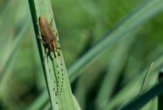 水仙长的有角的甲虫,Agapanthia阿福花属,基于叶子 免版税图库摄影