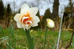 水仙,花,春天,庭院,绽放,开花,植物群,植物学 免版税库存图片