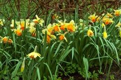 水仙,花,春天,庭院,绽放,开花,植物群,植物学 库存图片