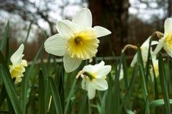 水仙,花,春天,庭院,绽放,开花,植物群,植物学 库存照片