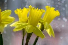 水仙pseudonaricissus装饰春天细节开花,在绽放的黄色头状花序 免版税库存照片