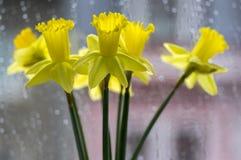 水仙pseudonaricissus装饰春天细节开花,在绽放的黄色头状花序 图库摄影