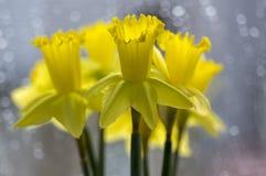 水仙pseudonaricissus装饰春天细节开花,在绽放的黄色头状花序 库存图片