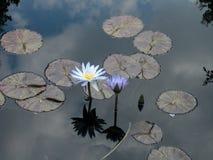 水兰花和lillies与天空反射 免版税图库摄影