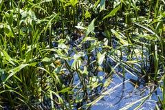 水厂箭头与红润突进者蜻蜓Sympetrum sanguineum的慈姑属sagittifolia 免版税库存图片