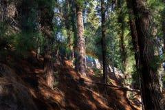 水和彩虹在一个杉树森林在塞罗de la格洛里亚在圣马丁将军停放- Mendoza,阿根廷 免版税库存照片
