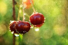 水多的新鲜的樱桃在我的庭院里, 库存照片