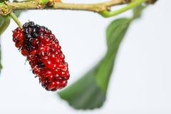 水多的桑树果子桑属印度在分支白色背景 免版税库存照片
