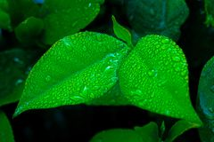 水多的绿色离开与露滴在黑暗被弄脏的背景 免版税库存照片