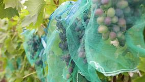 水多的蓝色葡萄群在葡萄园里 准备好束成熟有机的莓果在秋天被收获 股票录像