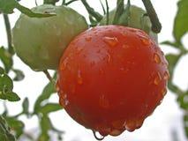 水多的蕃茄 免版税库存照片