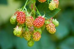 水多的黑莓 库存照片