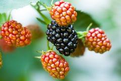 水多的黑莓 库存图片