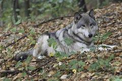水平的北美灰狼 免版税库存图片