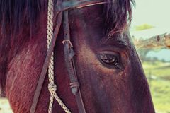 水平的照片描述一美好的可爱的黑褐色马gaz 免版税库存照片
