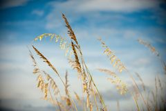 水平的燕麦海运 库存图片