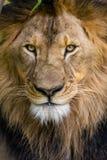 水平的狮子的特写镜头 免版税库存图片