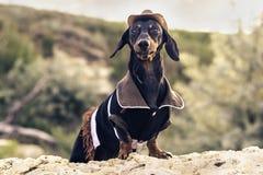 水平的画象一狗小狗,品种达克斯猎犬黑色和棕褐色,在牛仔服装坐石头反对g背景  库存照片