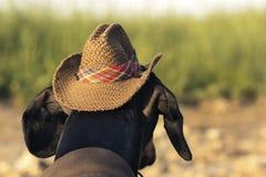 水平的画象后面视图一狗小狗,品种达克斯猎犬黑色和棕褐色,在牛仔服装坐石头反对bac 免版税库存照片