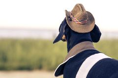 水平的画象后面视图一狗小狗,品种达克斯猎犬黑色和棕褐色,在牛仔服装坐石头反对bac 免版税库存图片
