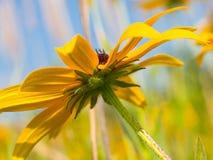 水平黄色黄金菊的花,底视图 库存图片