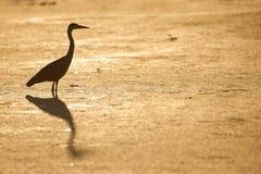 水平,全长,一只灰色苍鹭的颜色照片, Ar 免版税库存图片