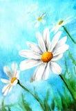 水彩图画在蓝色背景的春黄菊 图库摄影