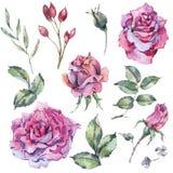 水彩套桃红色玫瑰,与花的自然收藏 皇族释放例证