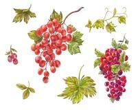 水彩套葡萄 手拉的酒莓果 红色甜hea 库存图片