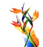 水彩异乎寻常的热带花,在空白背景的鹤望兰 免版税图库摄影