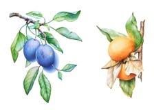 水彩手拉的李子和柿树分支 库存图片