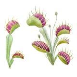 水彩捕蝇器植物 库存图片